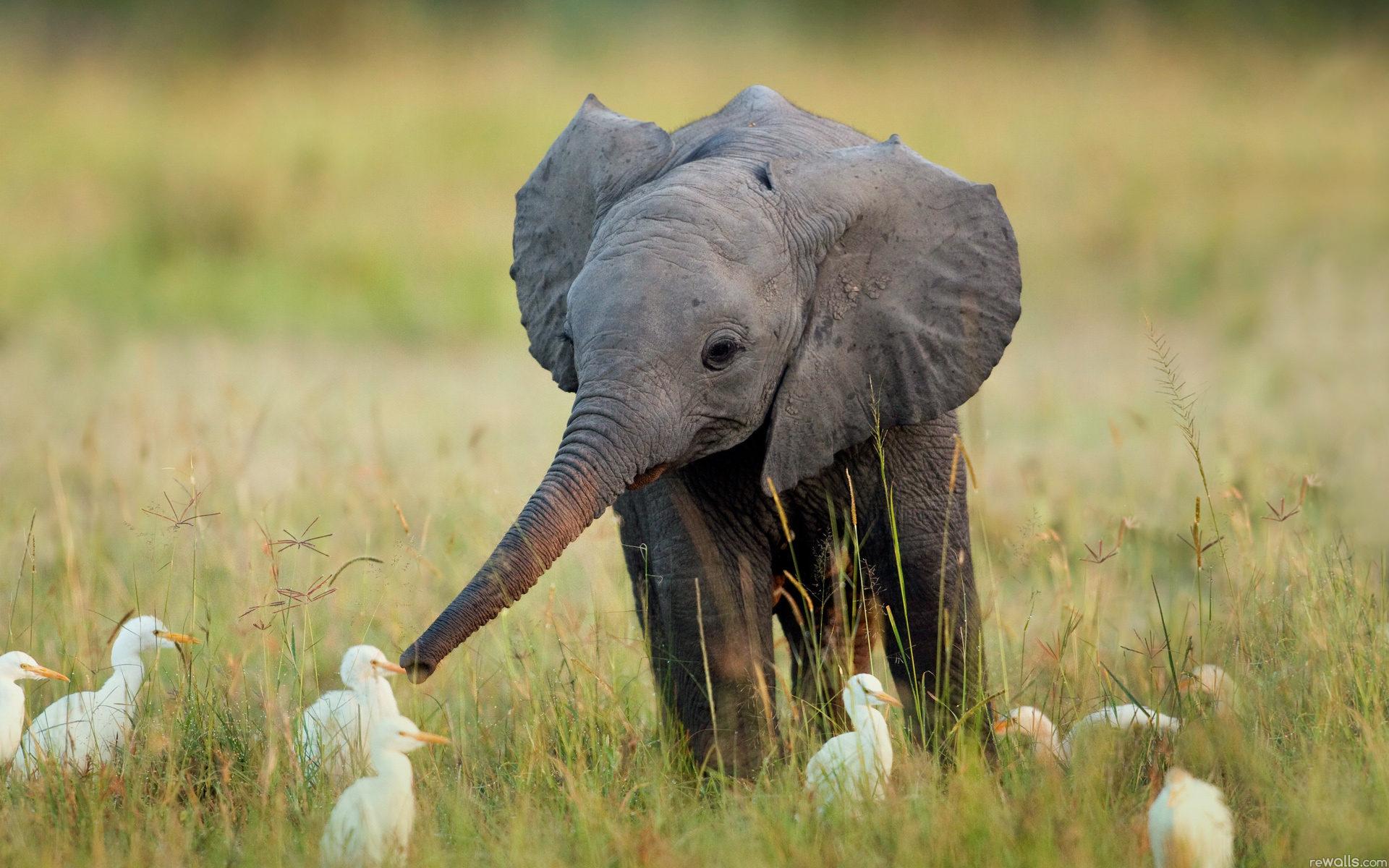 10 best hd elephant wallpapers freecreatives - Baby elephant wallpaper ...