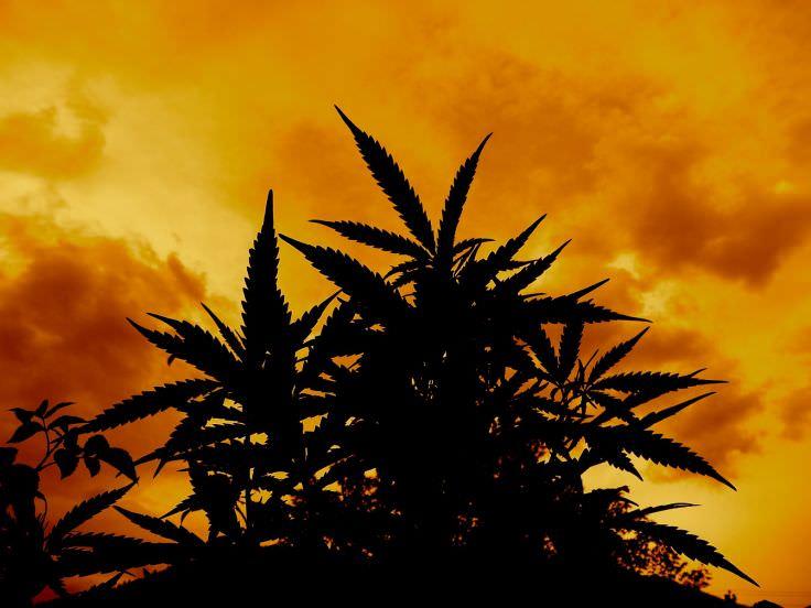 sick weed wallpaper
