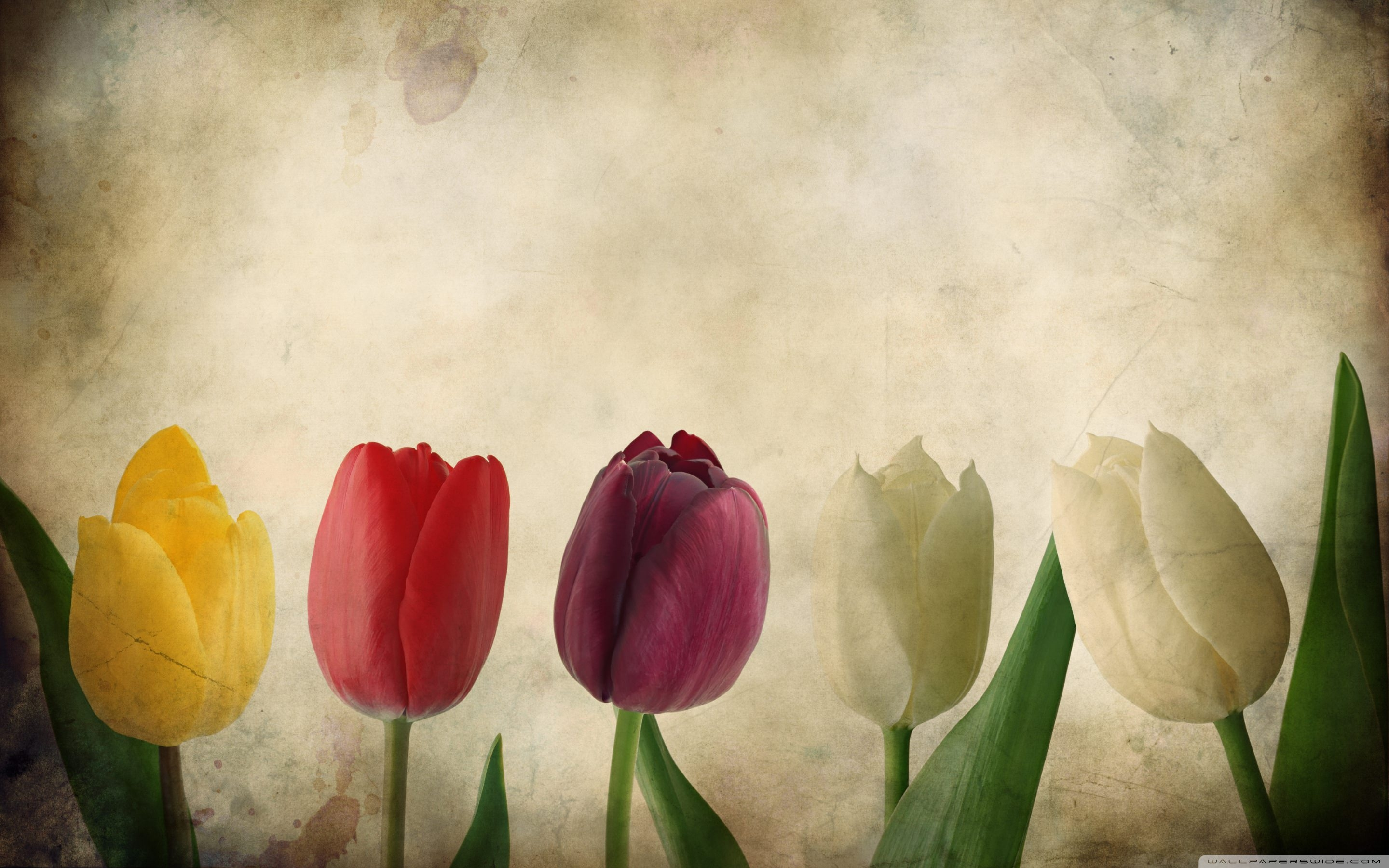 gorgeous-tulips-flowers-vintage-wallpaper-hd-free-desktop