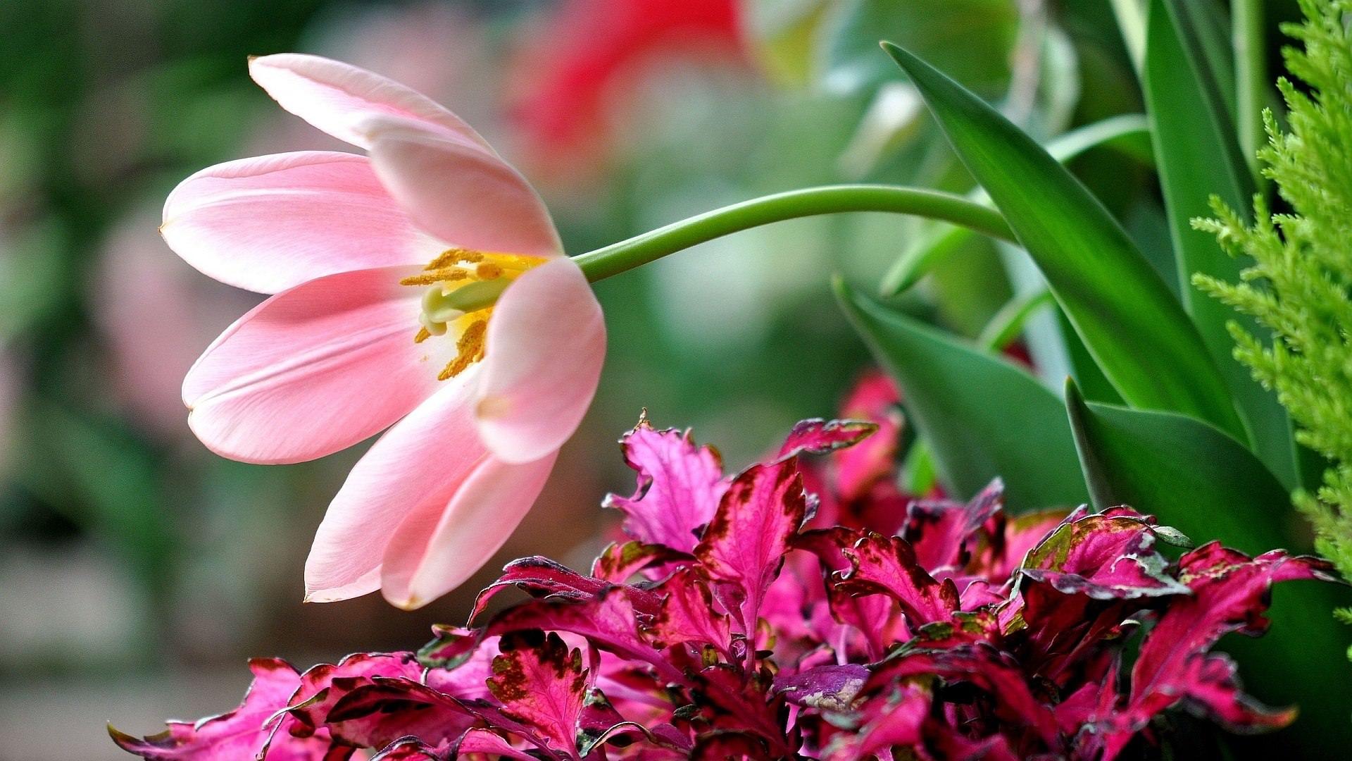 Beautiful Pink flower Wallpape for desktop