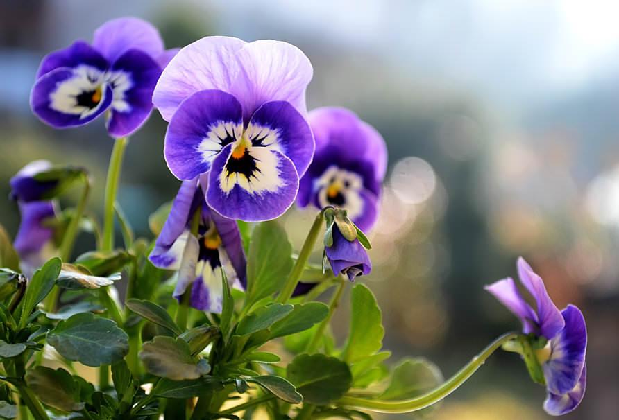 Pansies flower wallpaper