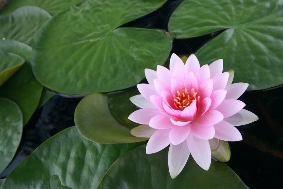 Water lily leaves wallpaper