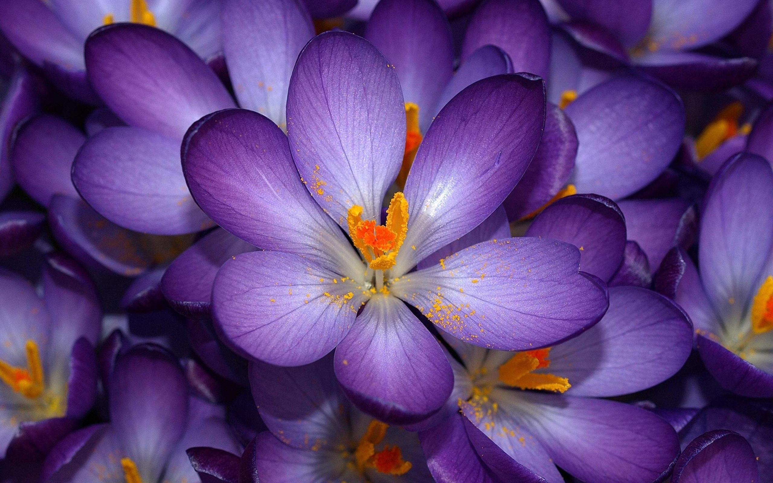 autumn_purple_crocus-wallpaper