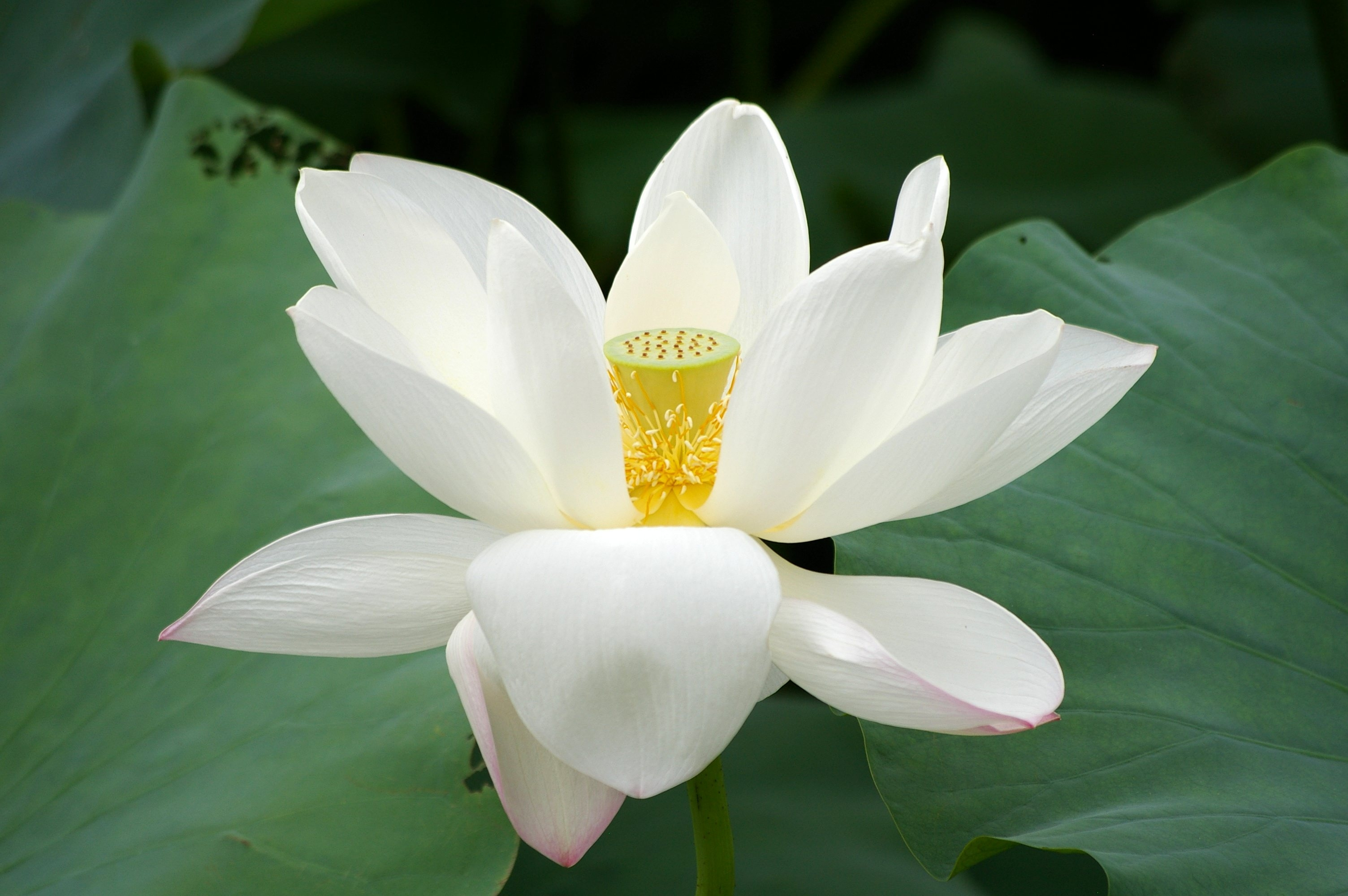 lotus-flower-high-resolution-wallpapers-