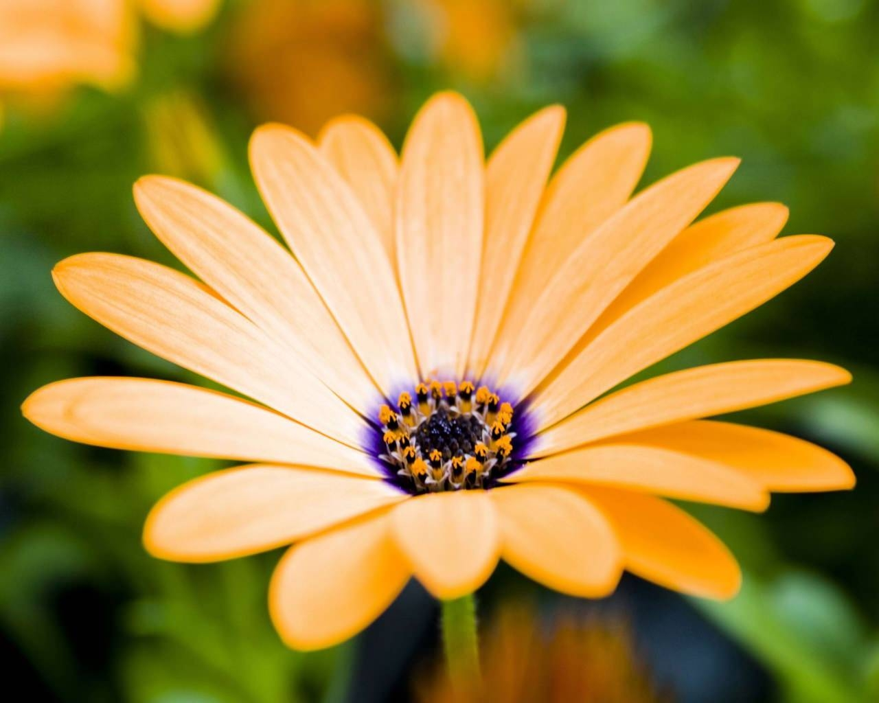 orange-gerbera-flower-hd-wallpaper