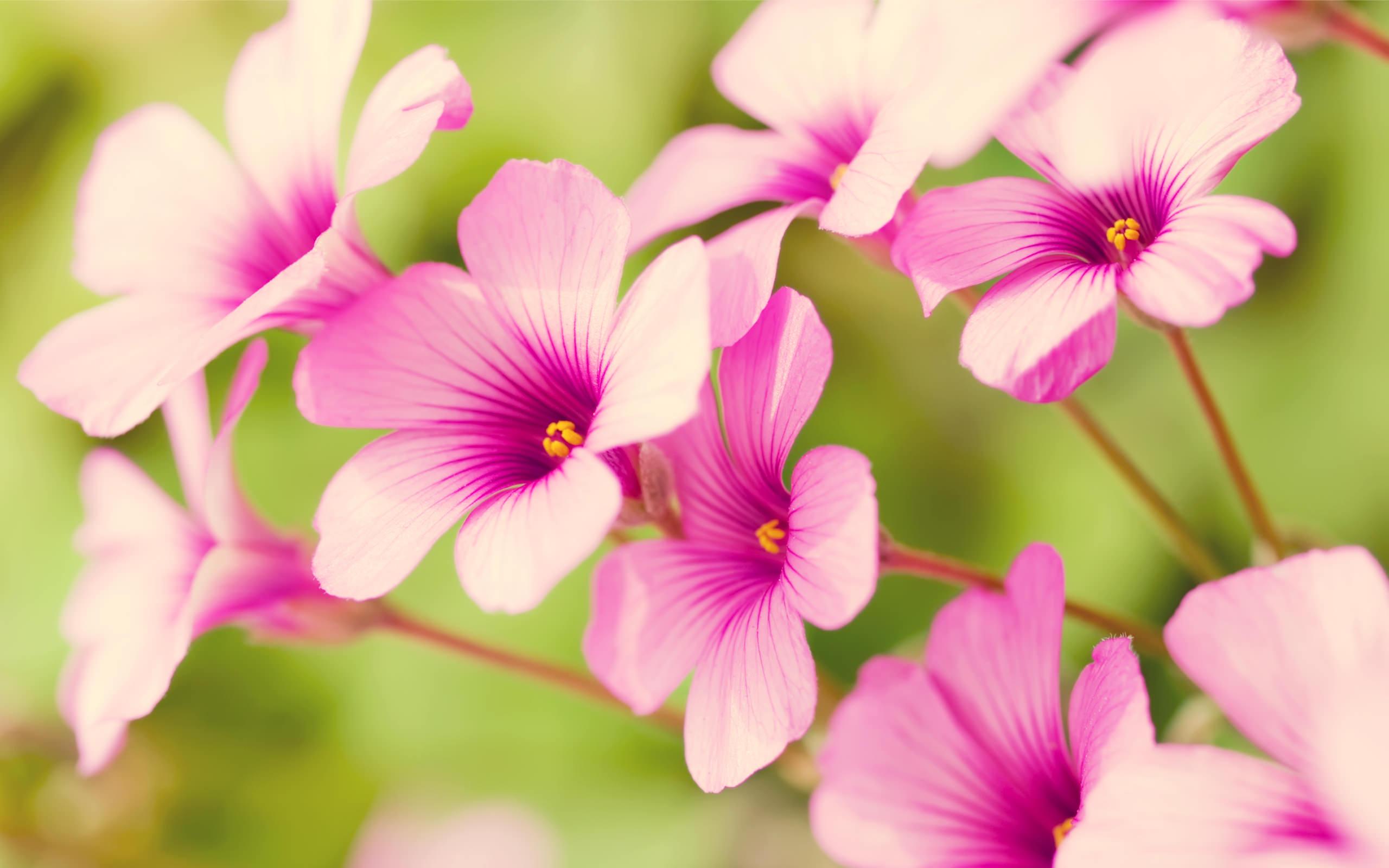 purple_verbenawallpaper