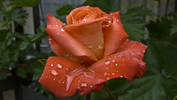 raindrop_rose_after_the_rain