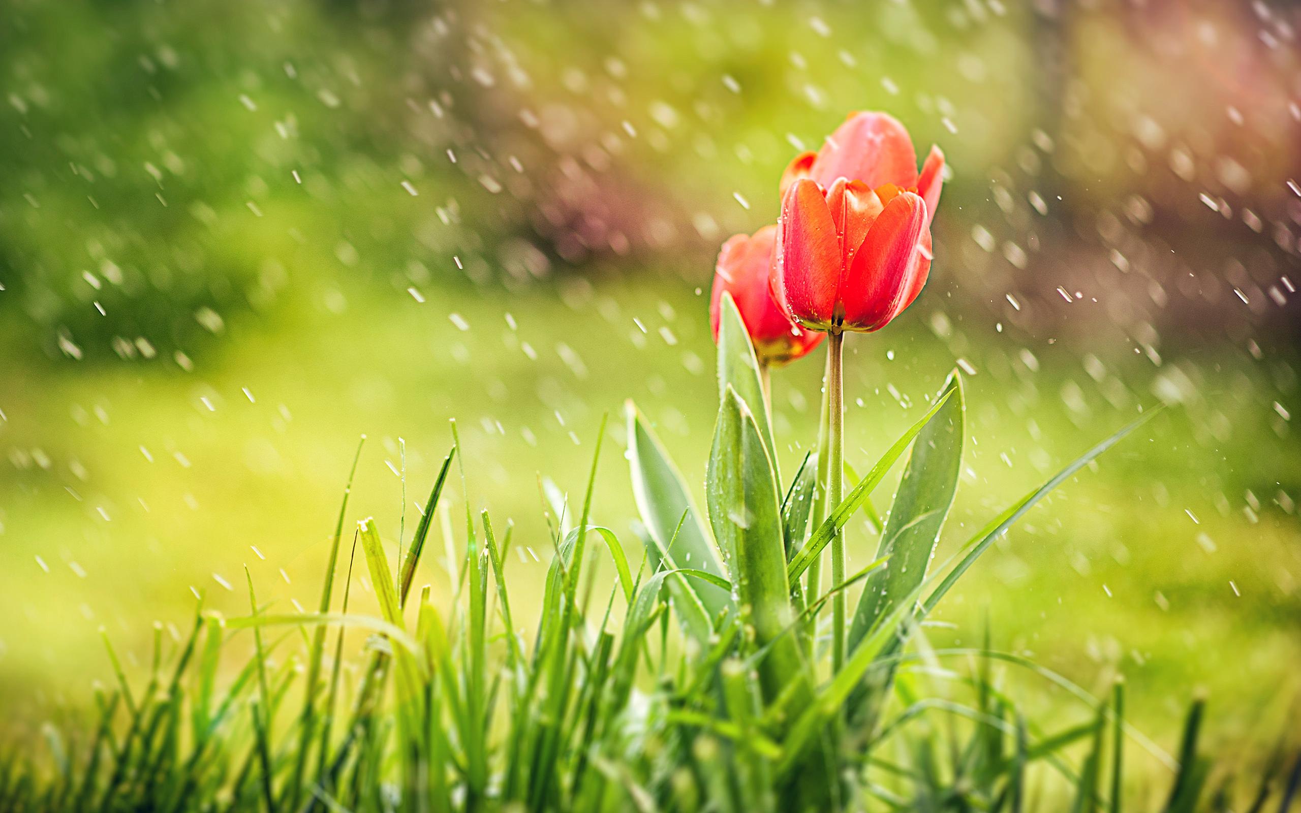 red_tulip_rain-wallpaper