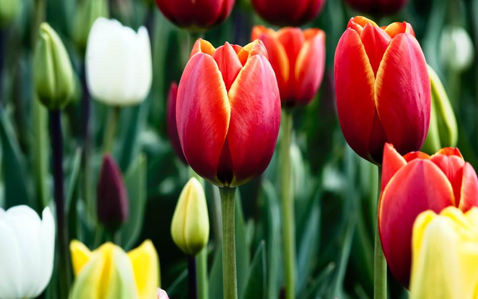 tulips-in-bloom wallpaper