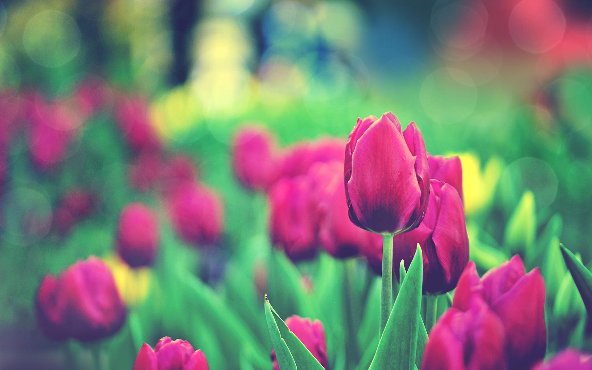 tulips_garden-wallpaper