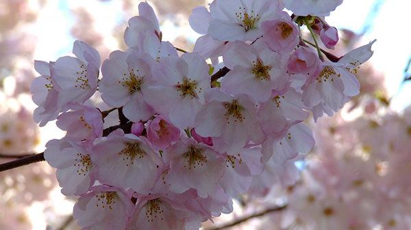 Amazing HD Cherry Blossoms Wallpaper