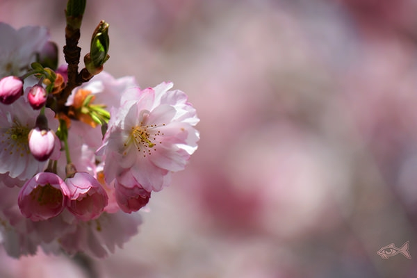 cherry blooming hd wallpaper