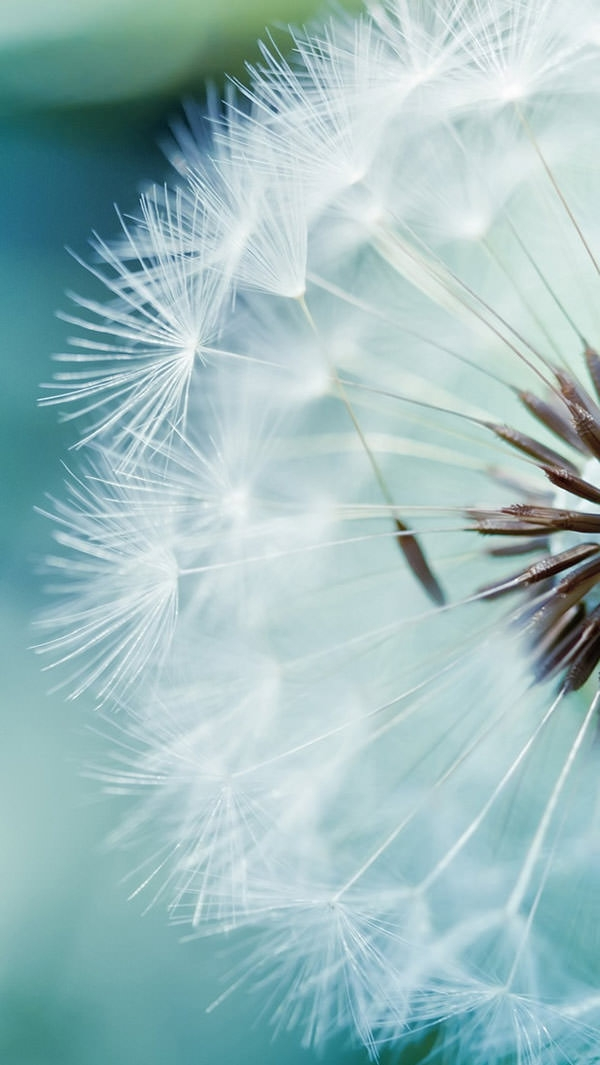 Dandelion-Flower-Wallpaper