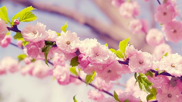 Japanese_Cherry_Blossom wallpaper