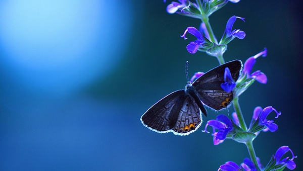 Lavender-Butterfly-HD-Desktop-Wallpaper
