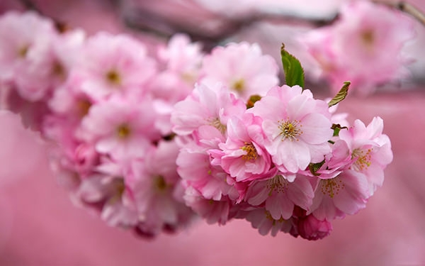 sakura cherry flowers