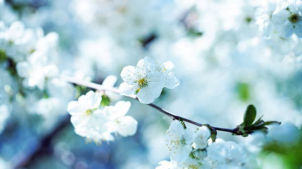 White Cherry Blossoms Wallpaper
