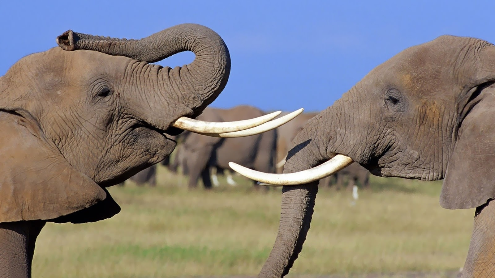 beautiful-wallpaper-of-two-elephants-hd-animals-wallpapers