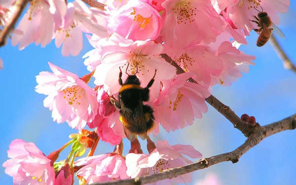 bee-in-the-cherry-tree-wallpaper