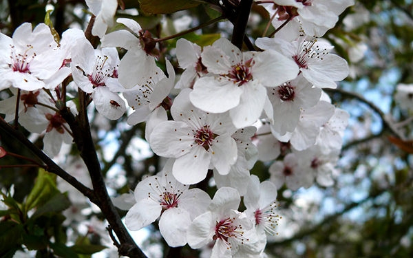 cherry-blossom-wallpaper-hd