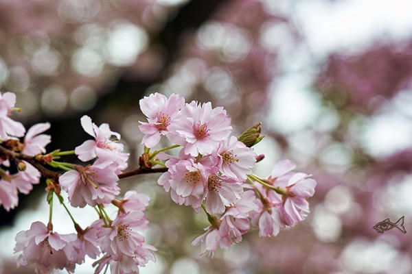 cherry-blossoms-wallpaper