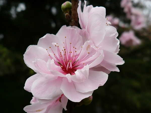 cherry-flower-wallpaper