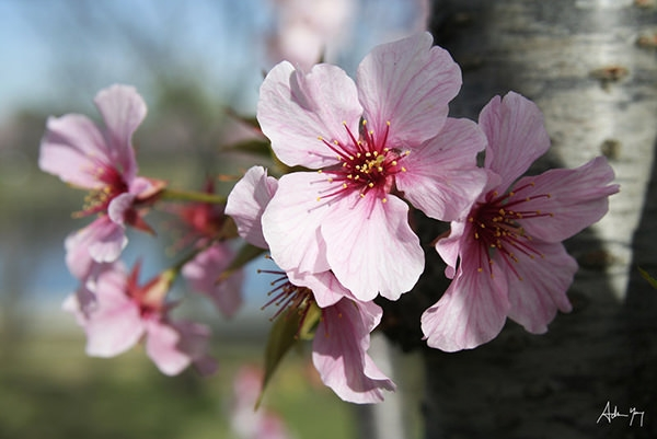 cherry_blossoms_