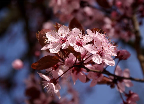 cherry_blossoms_background wallpaper