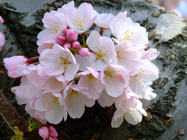 free-cherry-blossoms-wallpaper