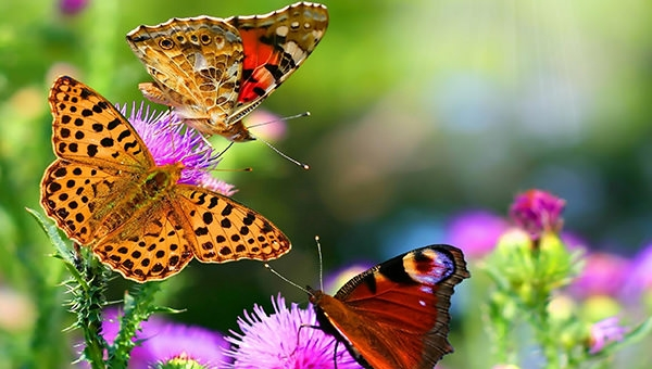hd-butterfly-wallpaper-dowload