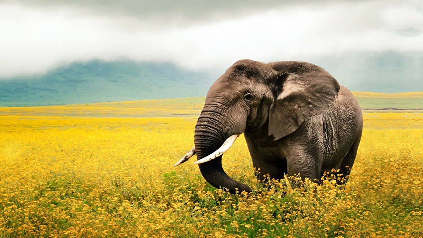 nice hd elephant desktop wallpper
