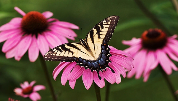 tiger-swallowtail-butterfly-purple-coneflower