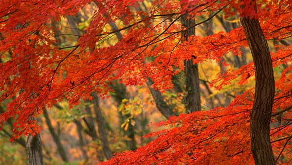vermont leaves in maple forest