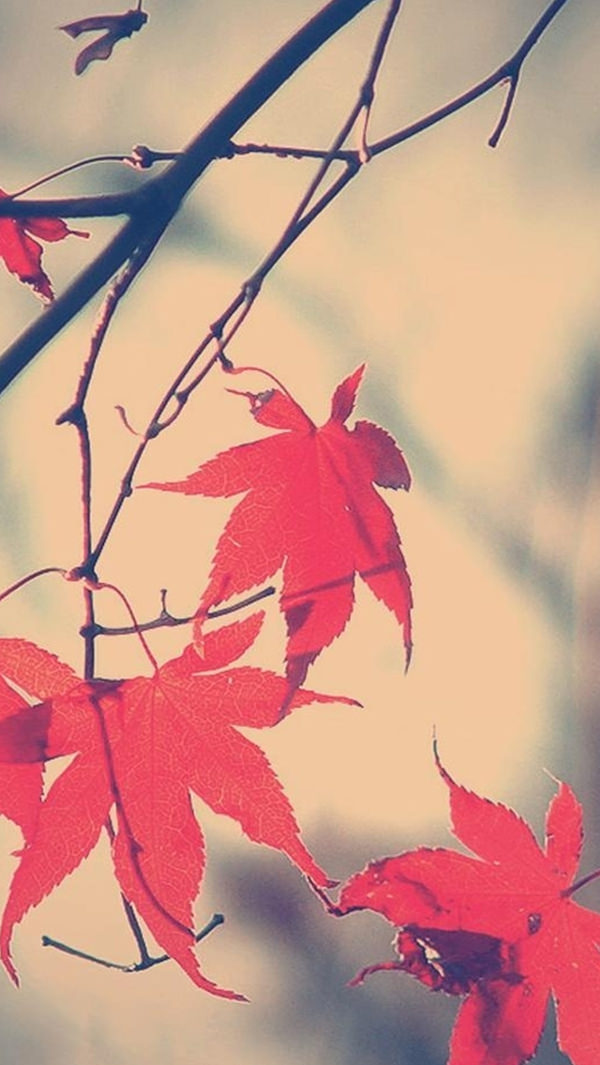 Autumn Romance Maple Leaf iPhone 5s Background