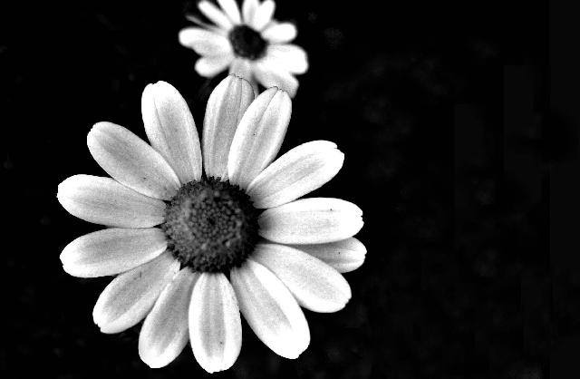 Awesome Black & White Flower Background