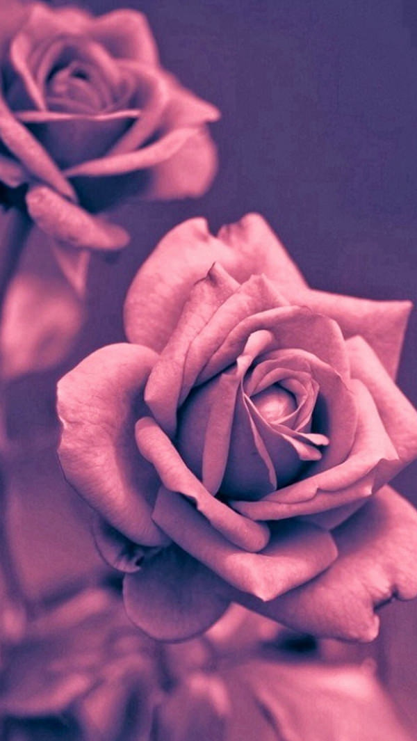 Beautiful Pink Rose iPhone 5s Background