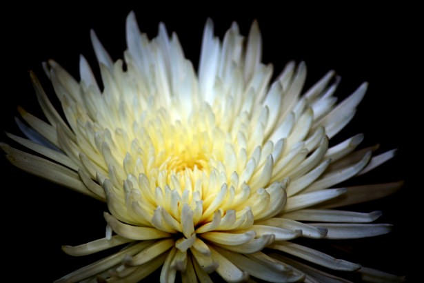 Beautiful White Flower in Black Background