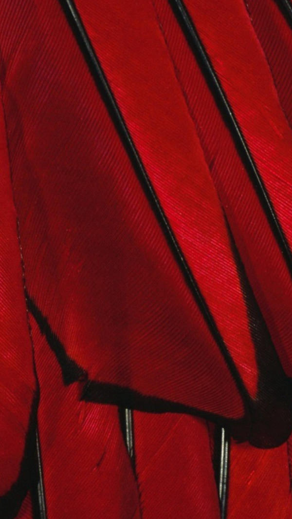 Black & Red Color Feather iPhone 5s Background