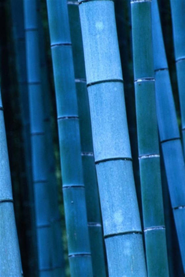Blue Bamboo iPhone Background For Free