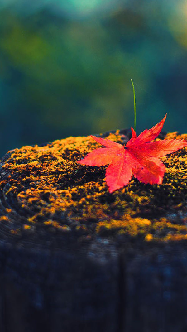 Fall Red Maple Leaf On Wood iPhone 5s Background