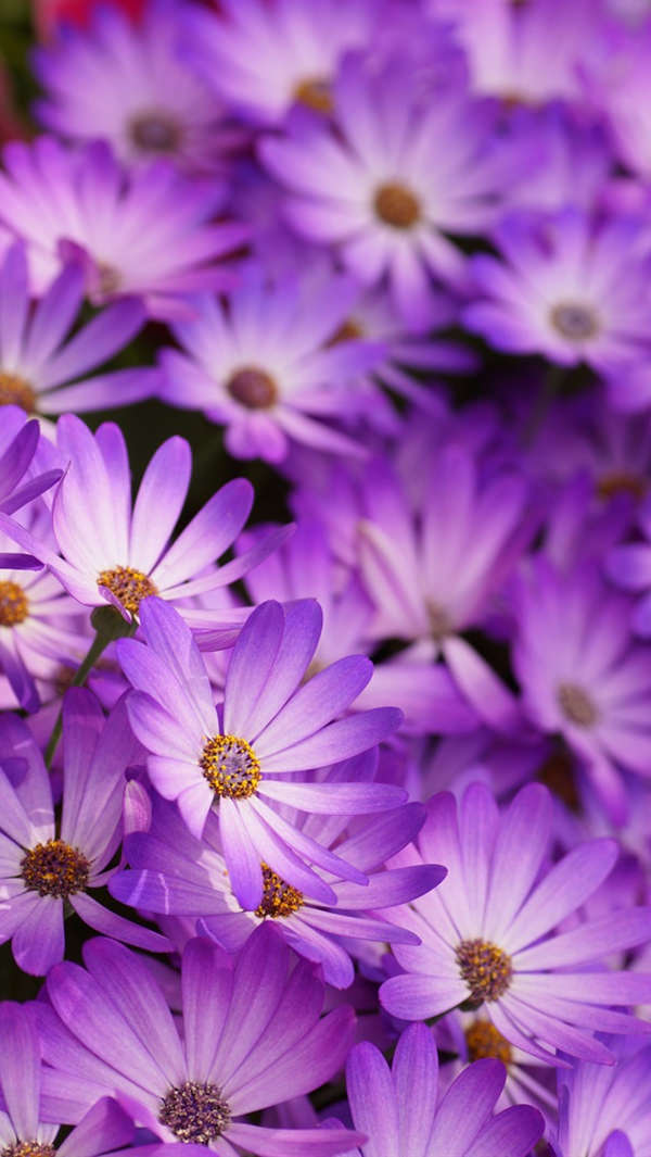 Free Purple Daisies iPhone 5 Background For You