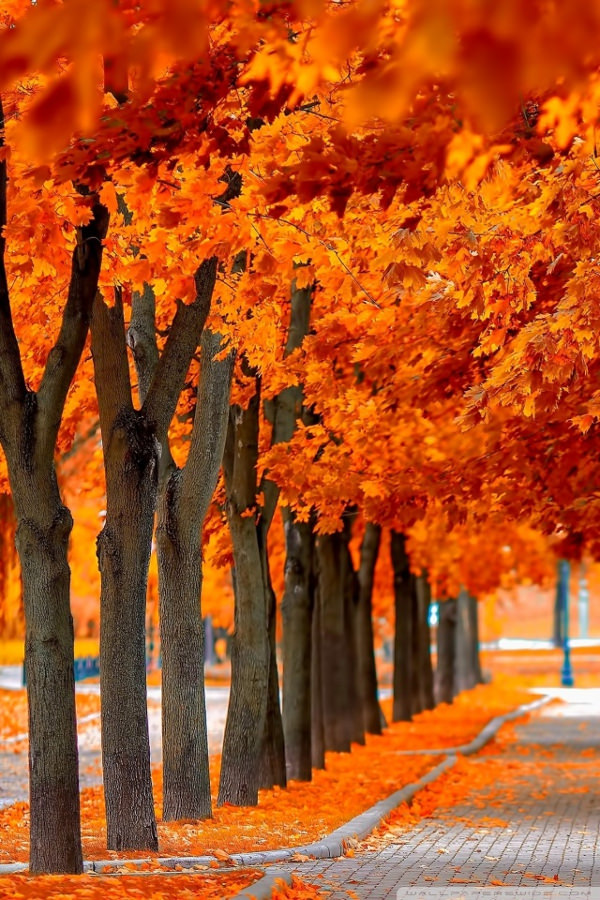 Orange Trees Fall Background For iPhone