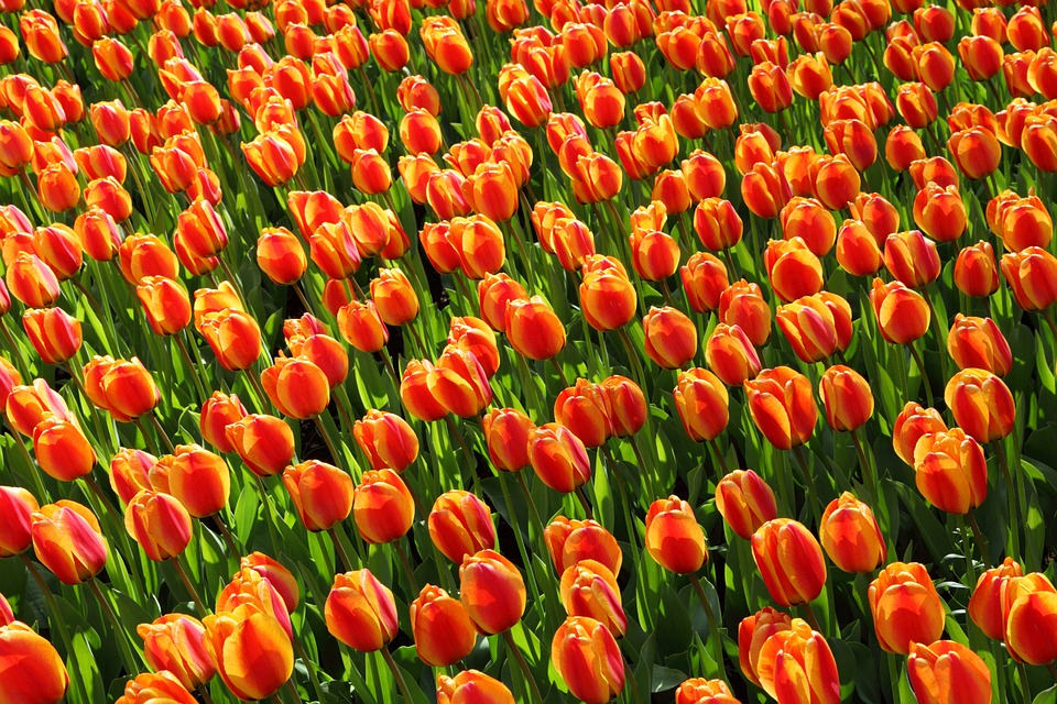 Orange red Tulips Tumblr Background