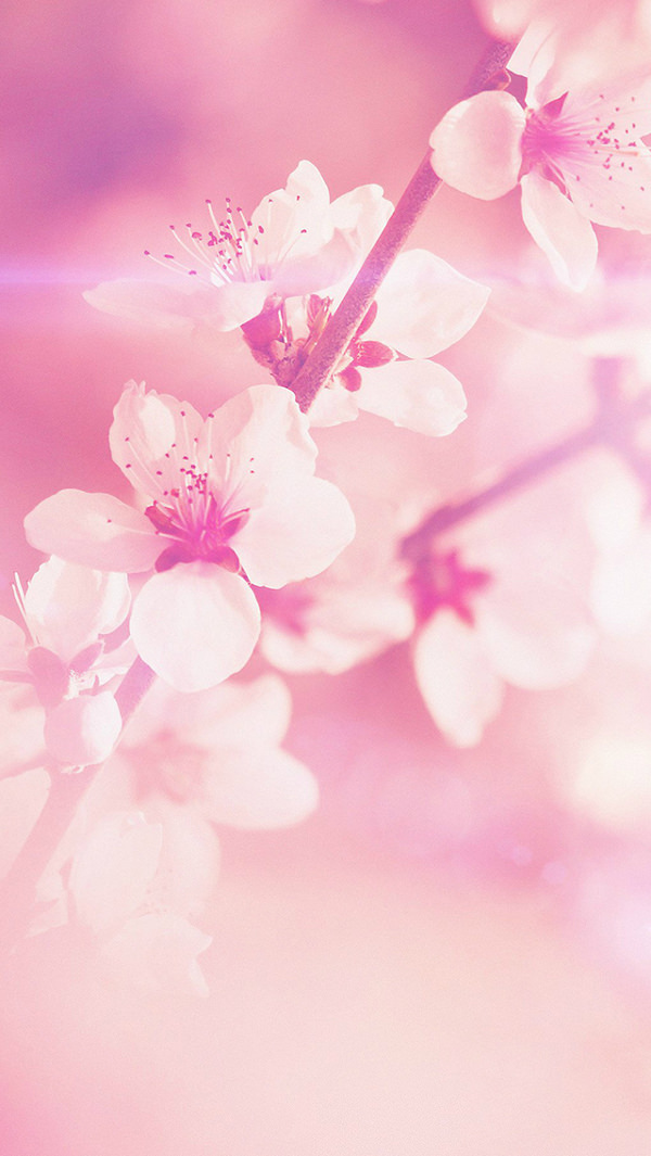 Pink Cherry Blossom iPhone 5s Background