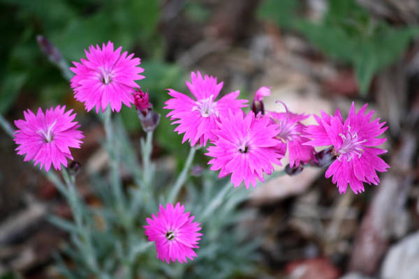Pink Dianthus Flowers Tumblr Background