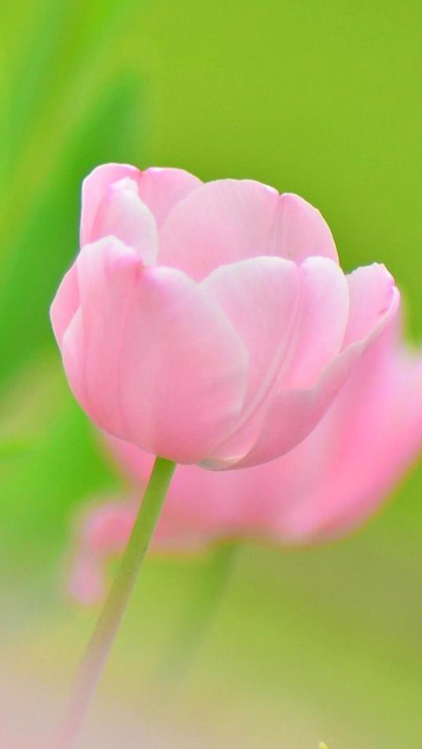Pink Tulip Flower iPhone 5s Background