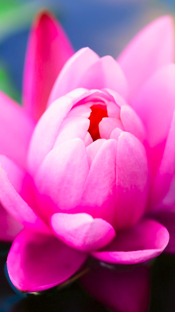 pink water lily iphone 6 background