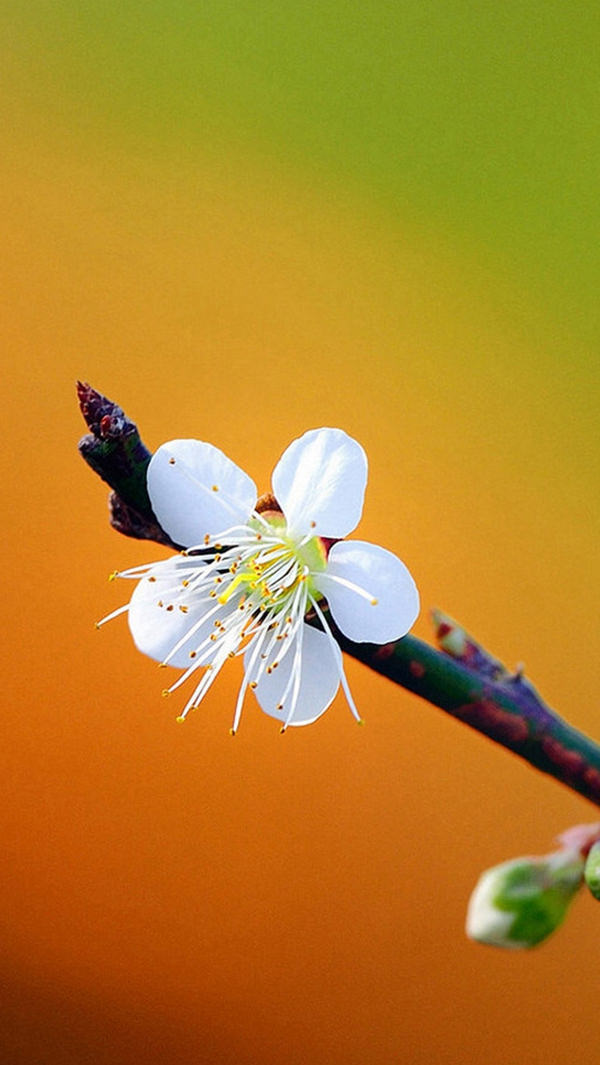 Pretty Plum Flower iPhone 5s HD Background