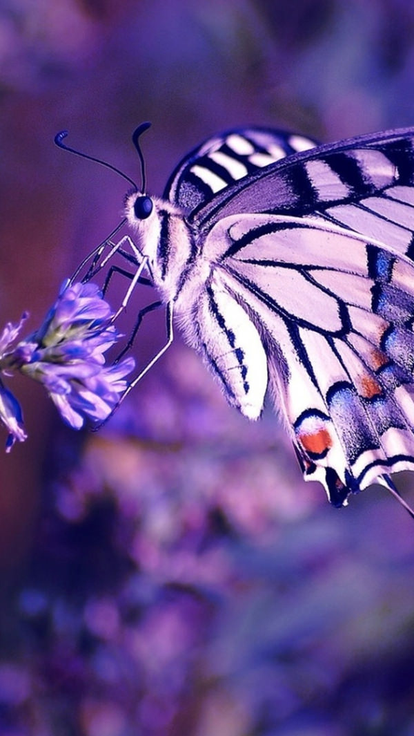 Purple Butterfly On Flower iPhone 5s Background