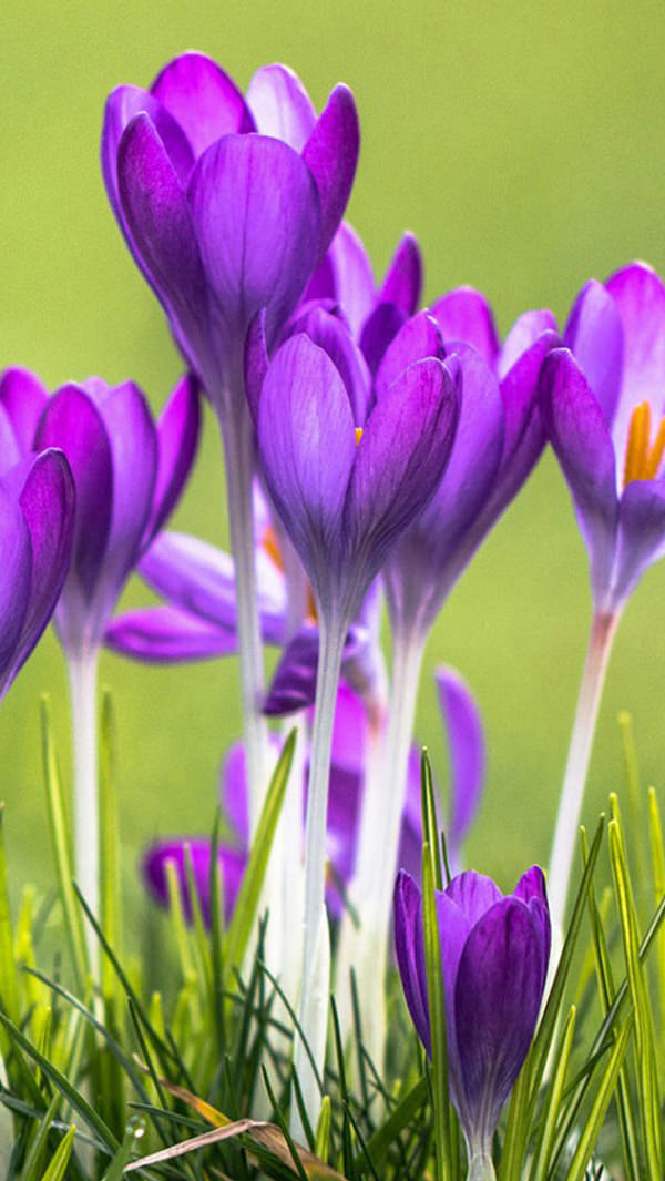 Purple Crocuses Field iPhone 5s Background